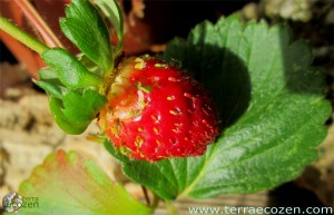 fresas_enero